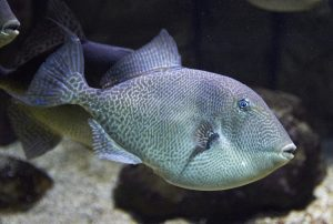 balistes-capriscus-florida-triggerfish-photo